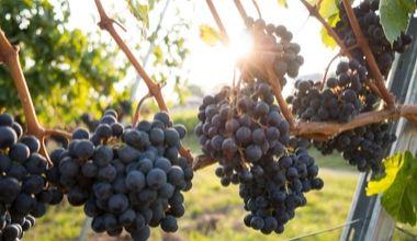 le vigneron bordelais